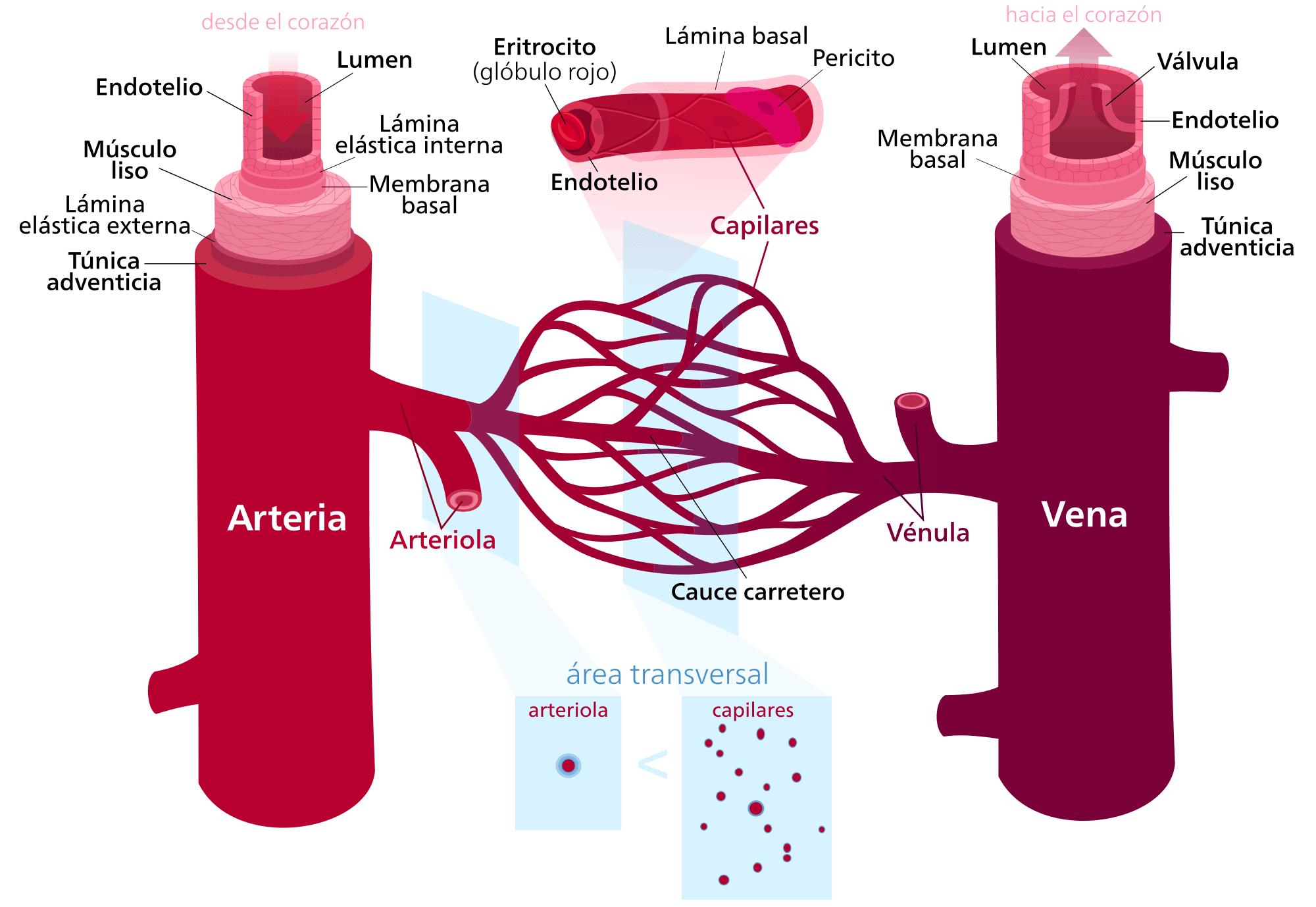 Tipos vasos sanguíneos