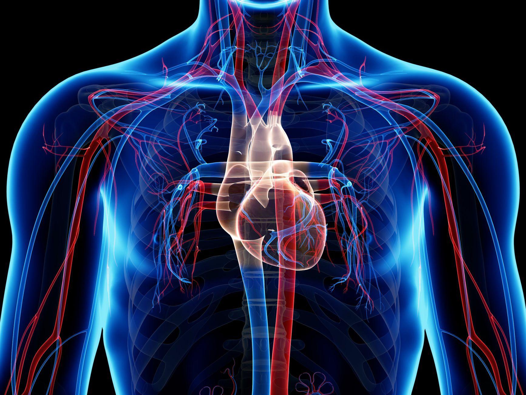 Corazón vasos sanguíneos