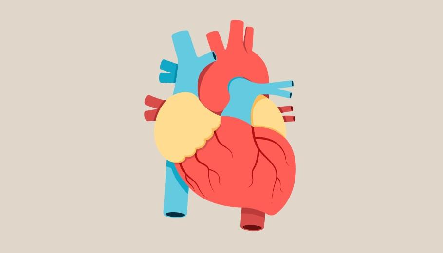 Las 24 Partes Del Corazón Humano Anatomía Y Funciones
