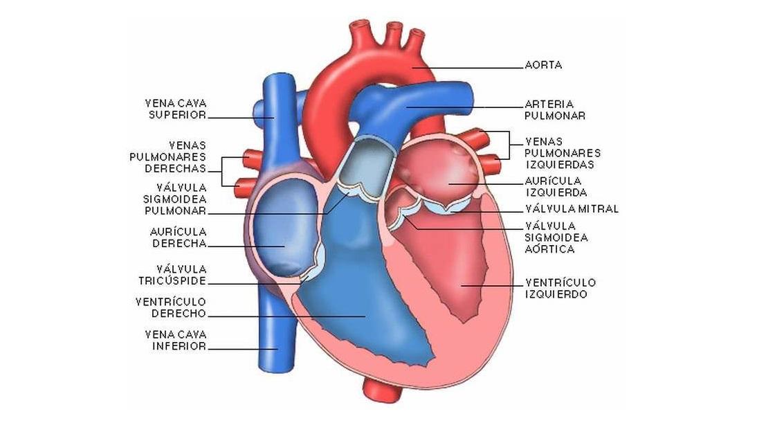 Partes del corazón y su anatomía