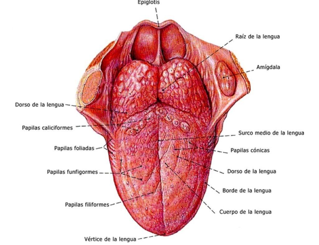 Anatomía lengua