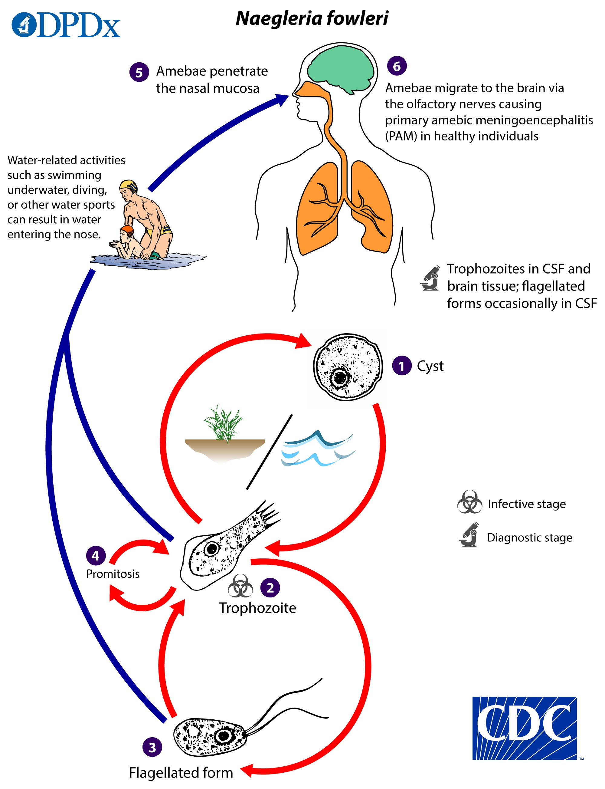 Naegleria fowleri ciclo