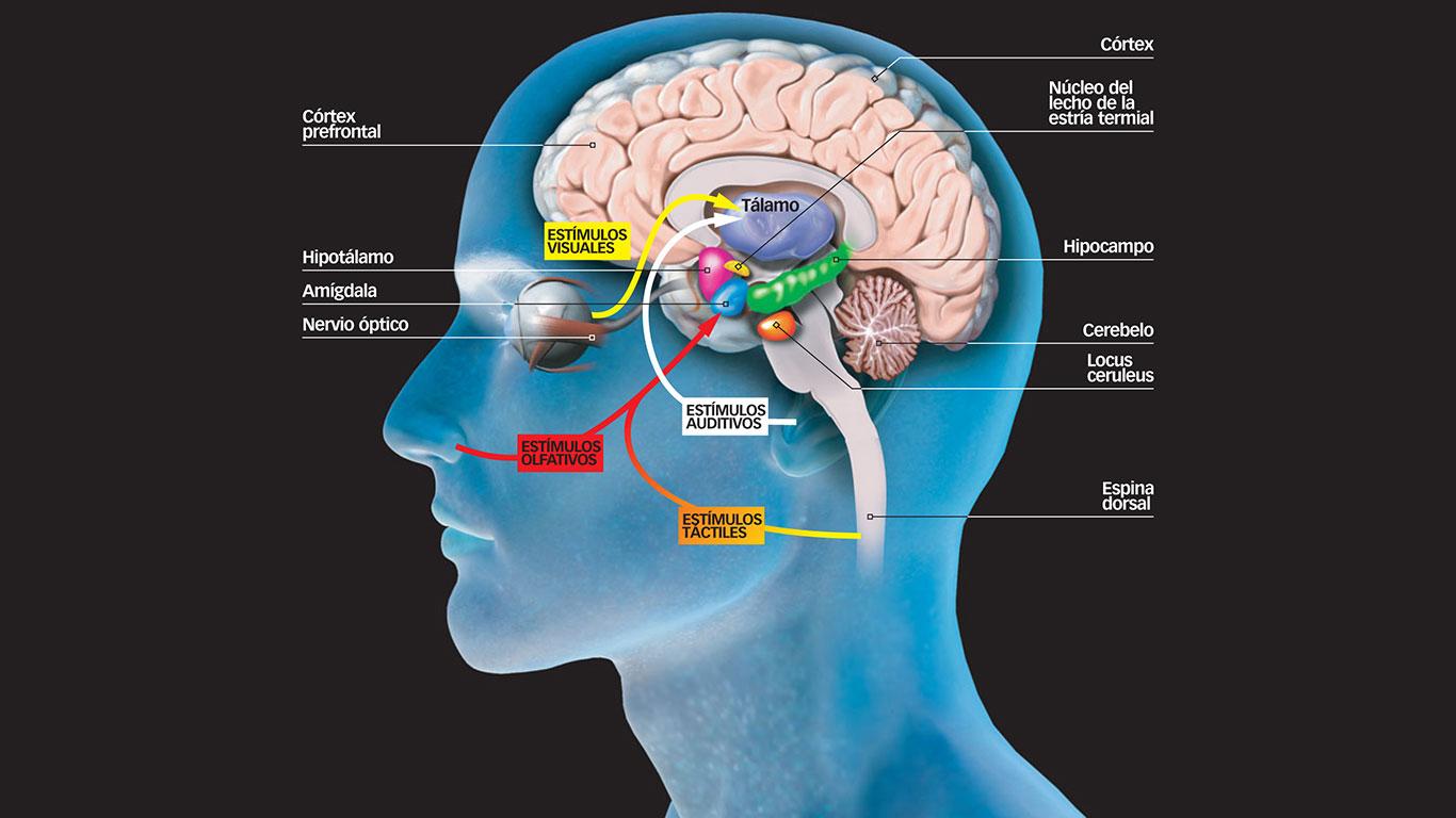 Hipocampo amígdala