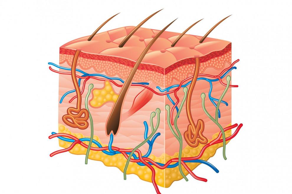 Anatomía pelo humano