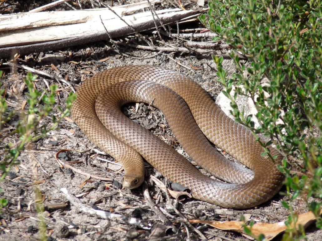 Serpiente marrón