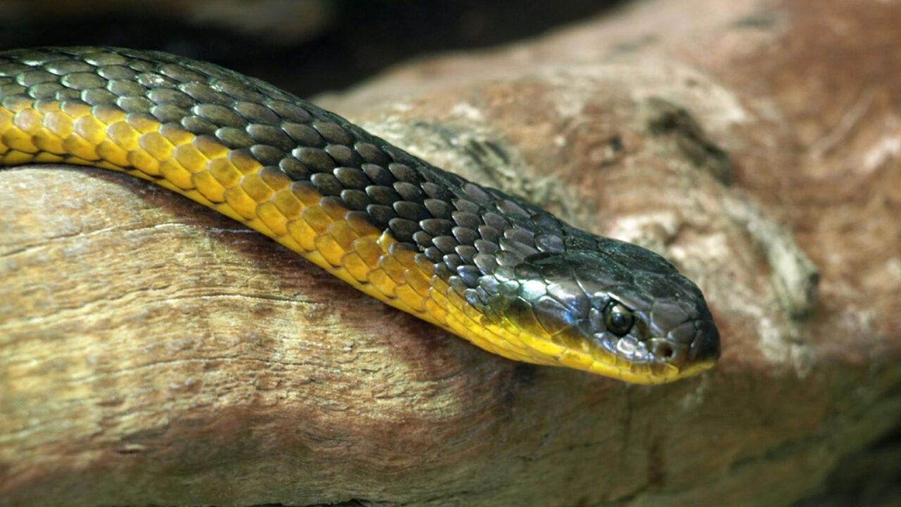 Serpiente tigre