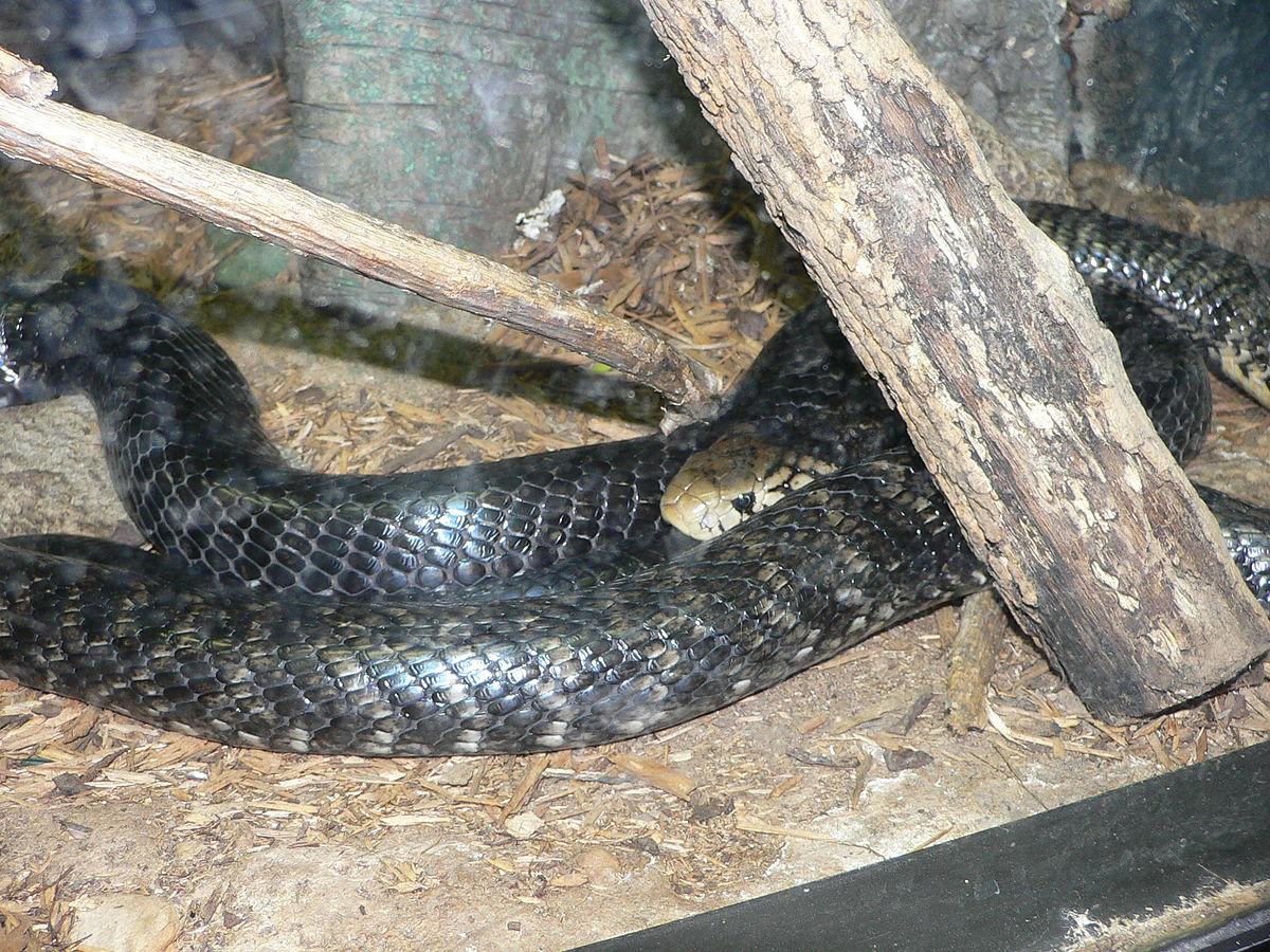 Cobra bosque