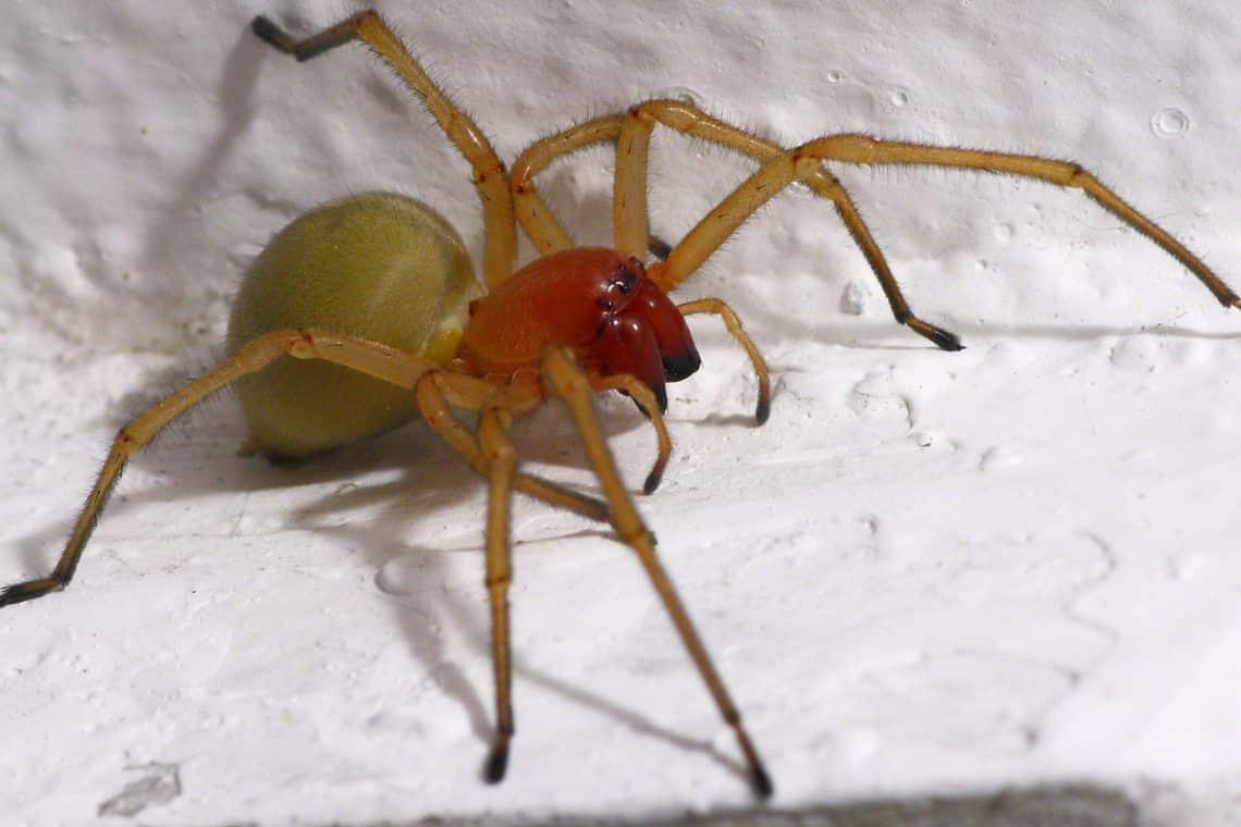 Araña saco amarillo