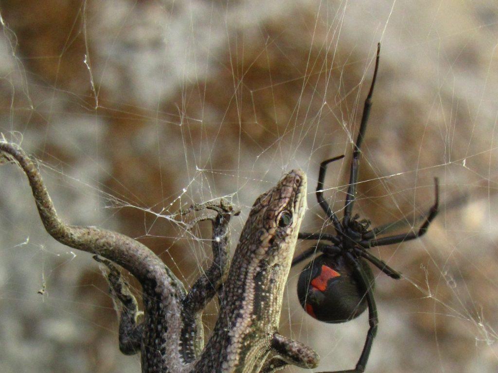 Araña espalda roja
