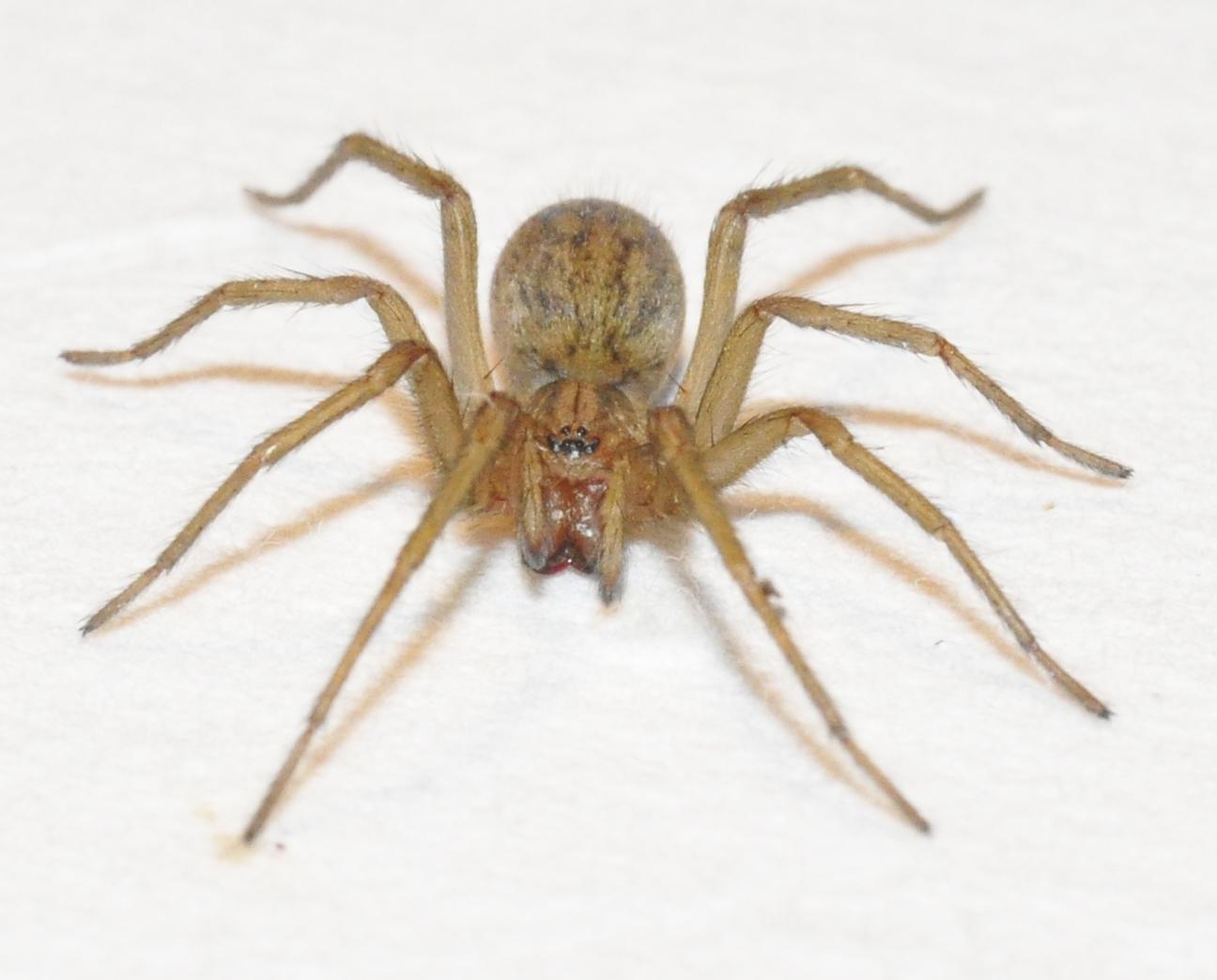 Araña vagabunda