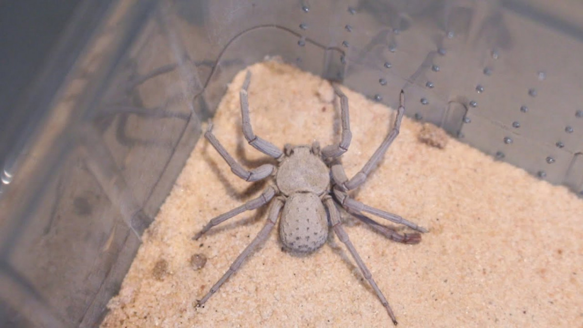 Araña arena seis ojos