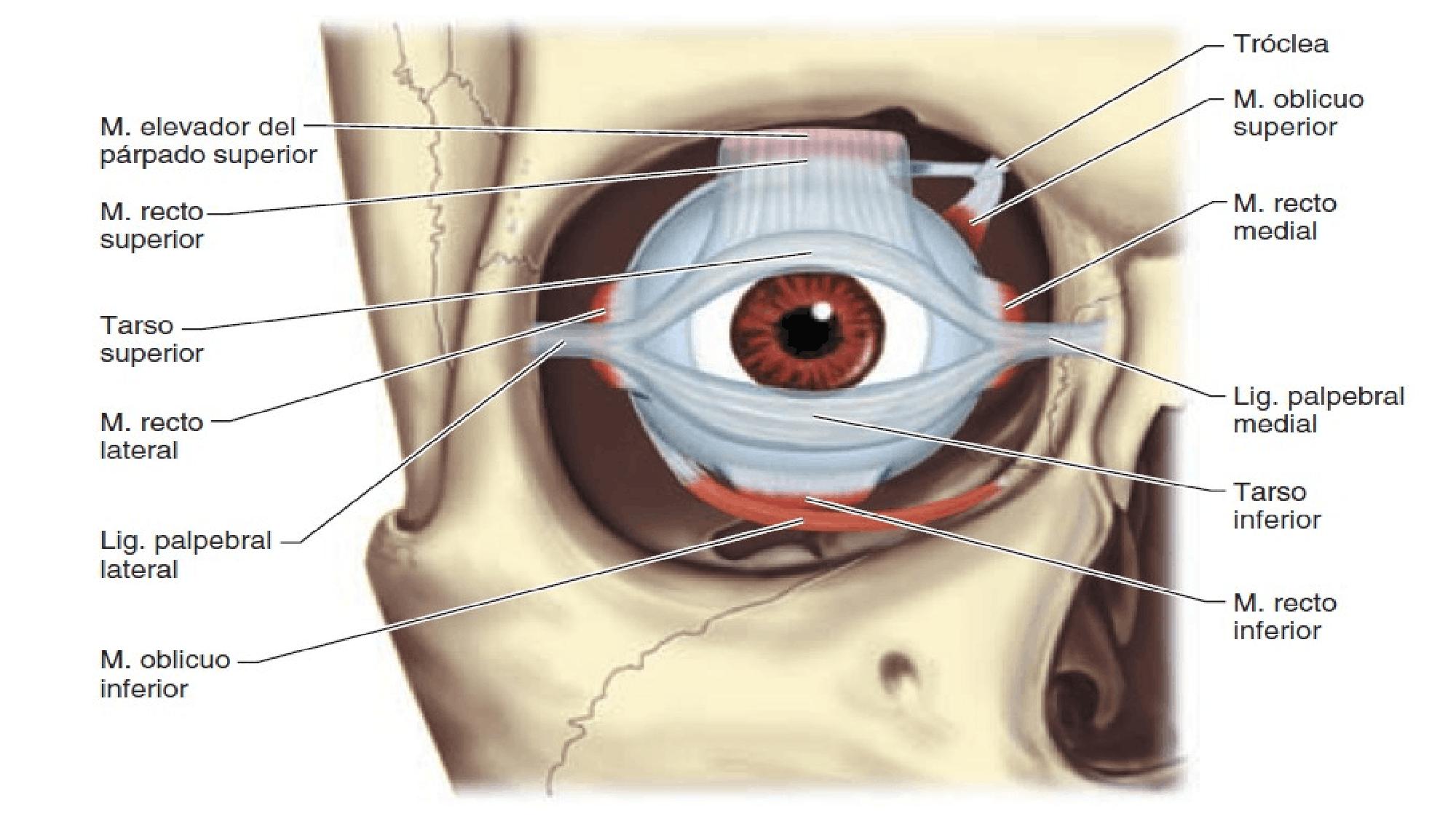 Músculos ojo