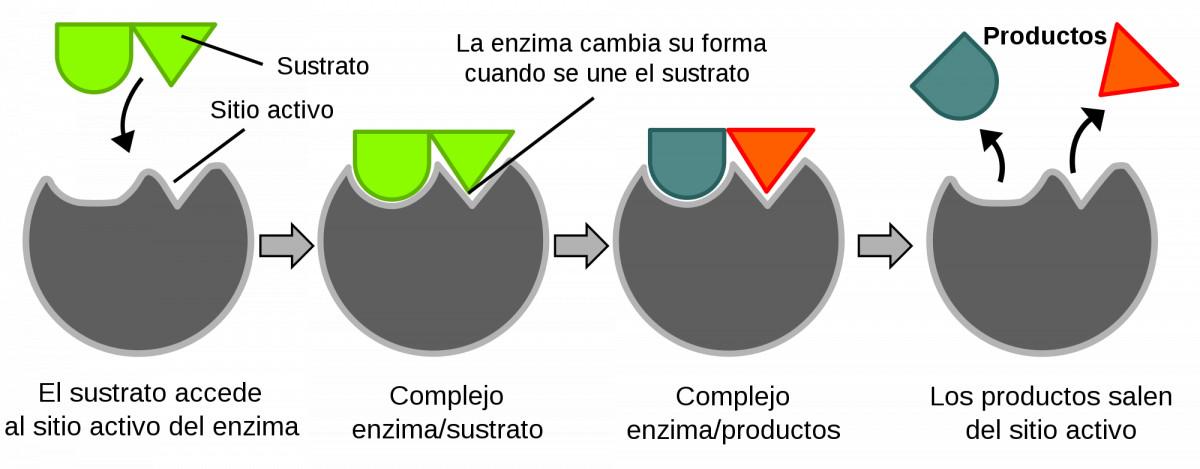 Enzima función