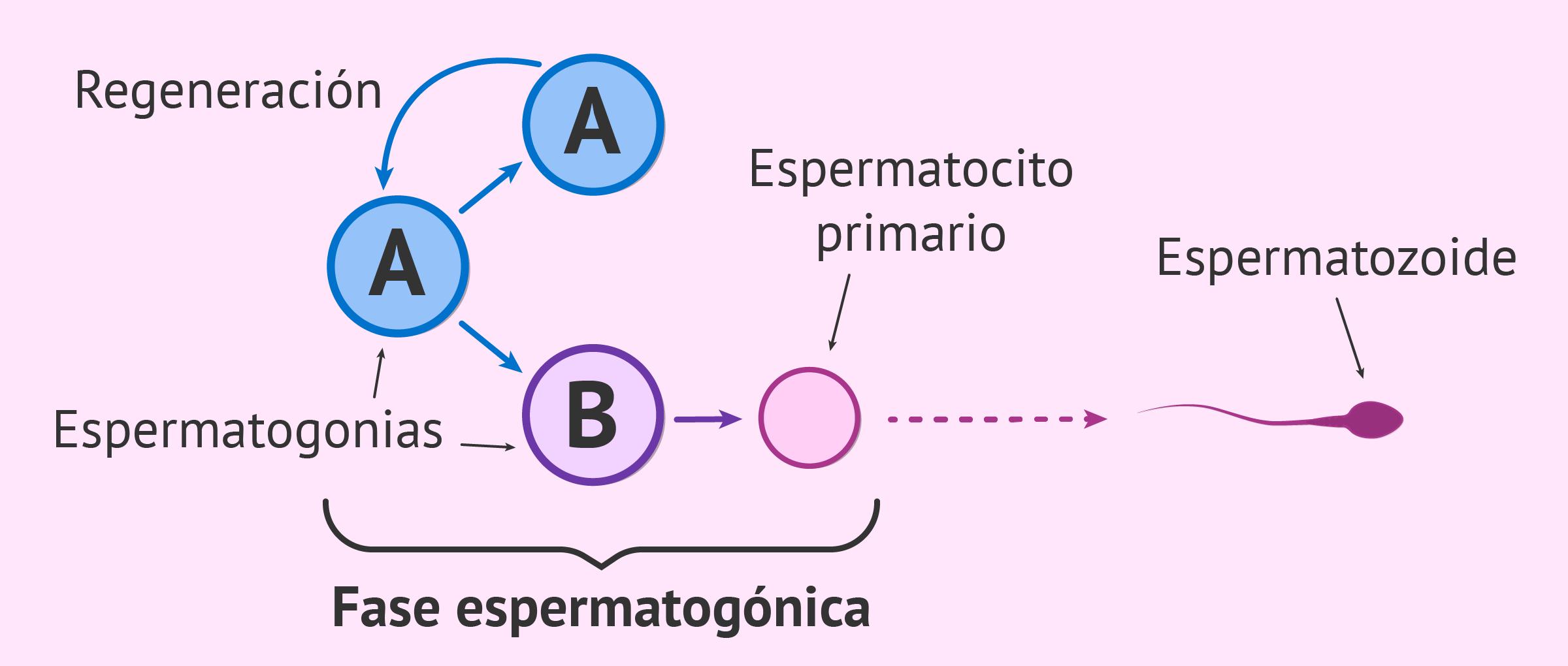 Fase espermatogónica