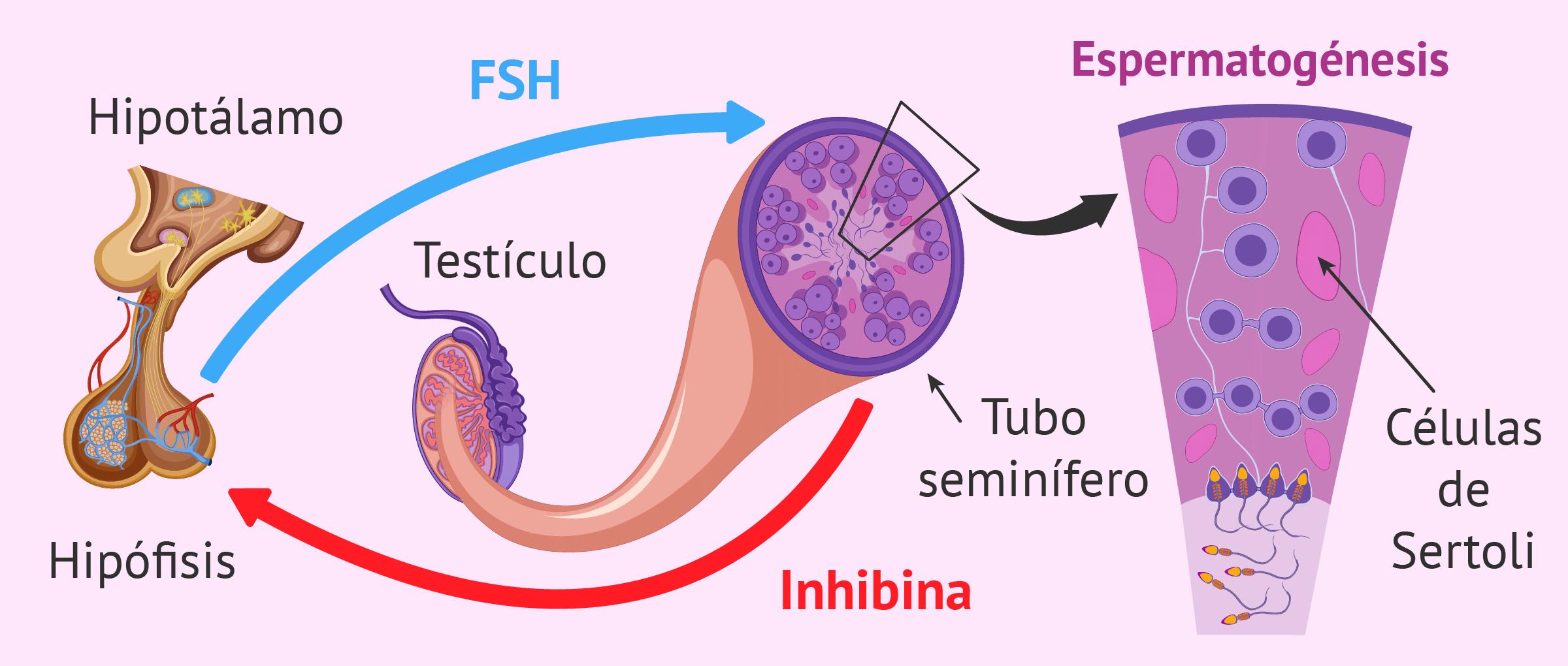 Lugar espermatogénesis