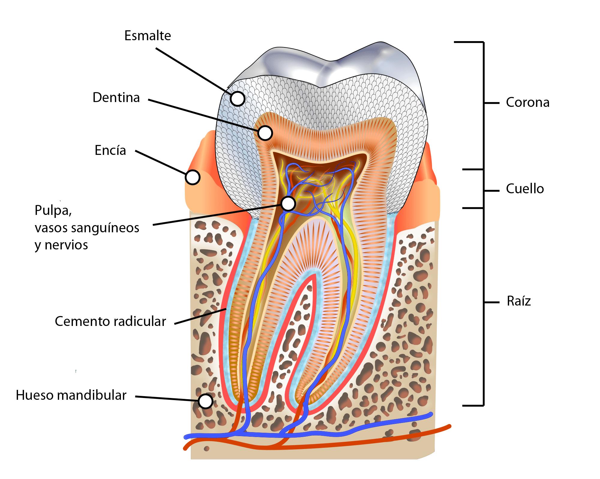 Diente estructura