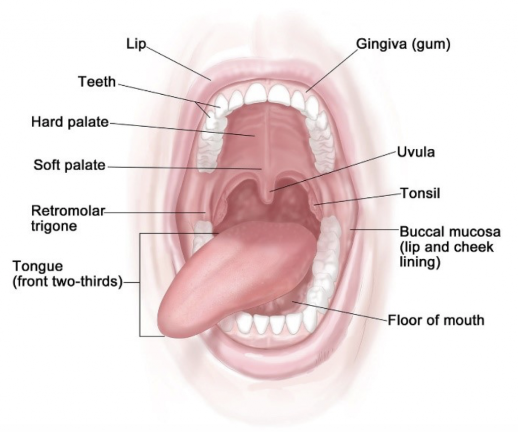 Anatomía boca