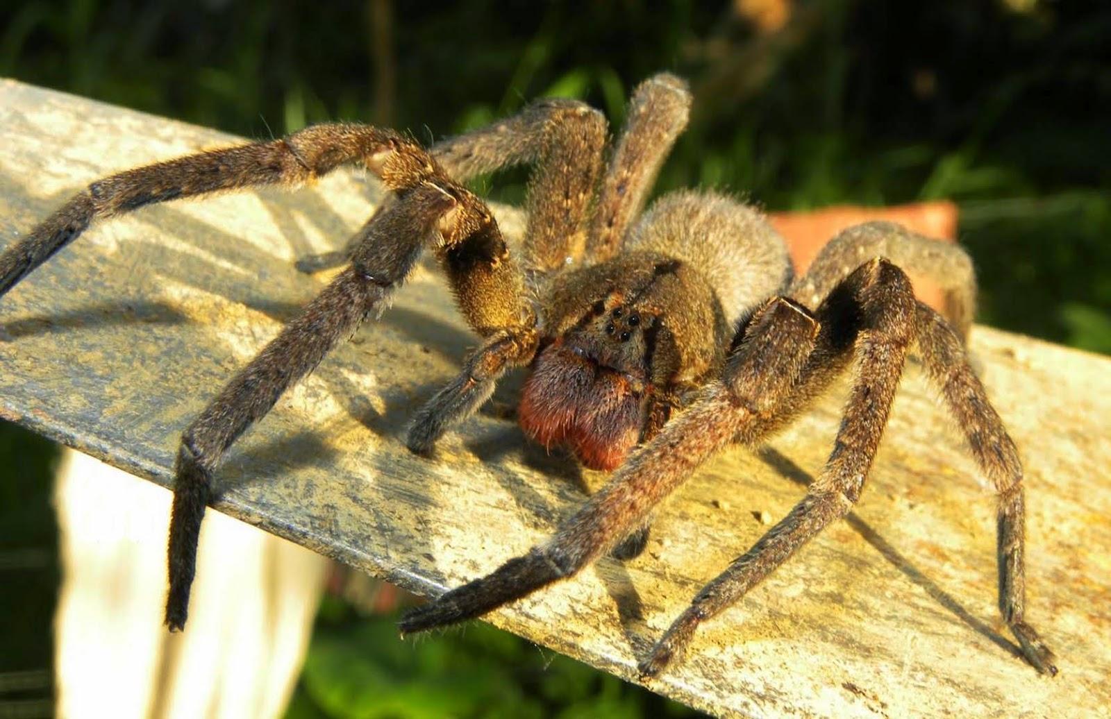 Araña brasileña