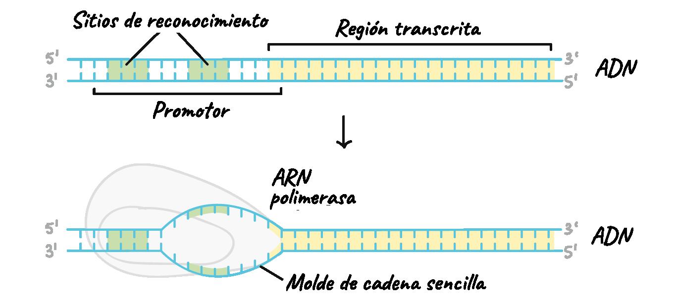 RNA polimerasa función