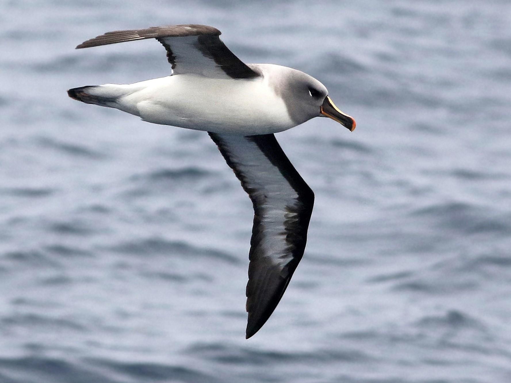 Albatros cabeza gris