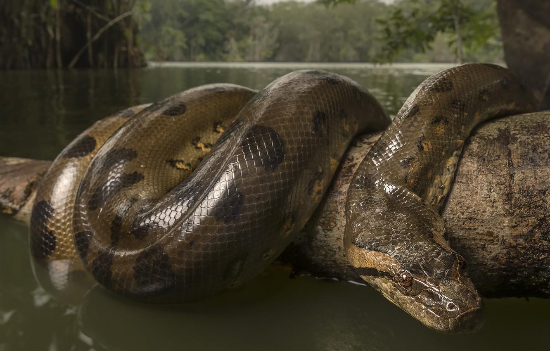 Anaconda selva