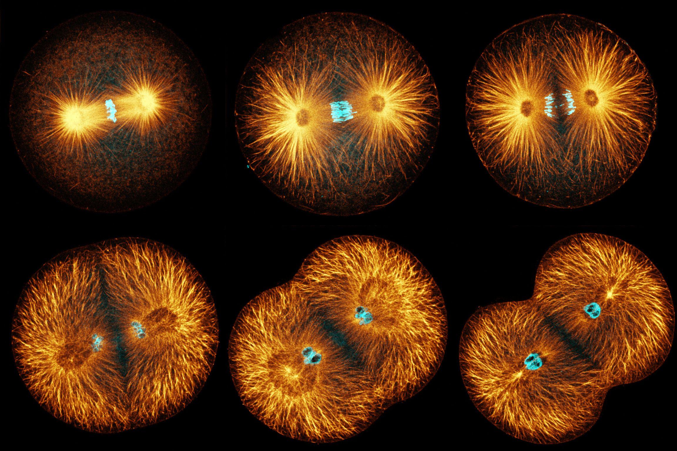 Mitosis ciclo