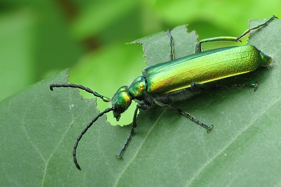 Escarabajo cantárida
