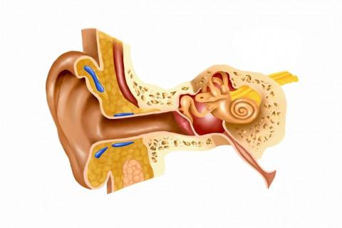 Partes del oído