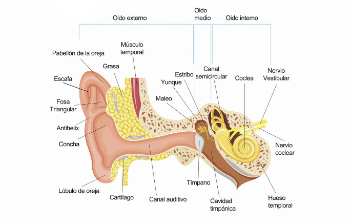 Partes del oído humano