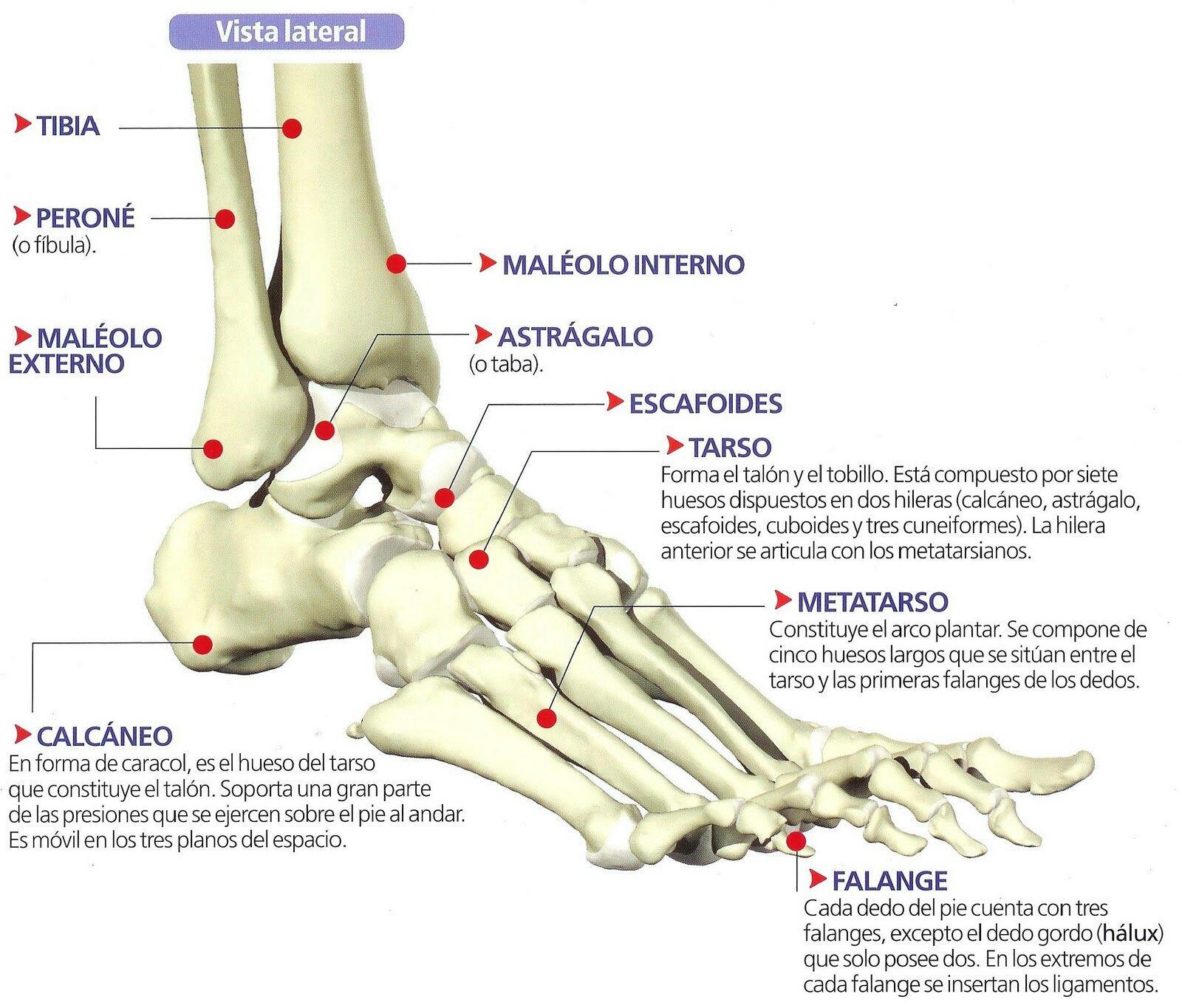 Anatomía pie