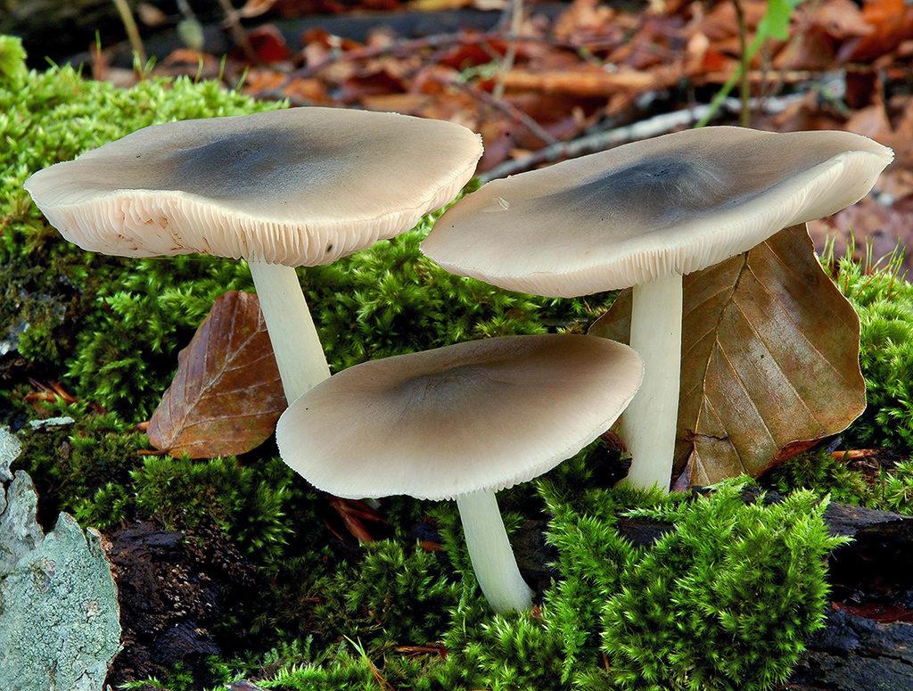 Pluteus salicinus