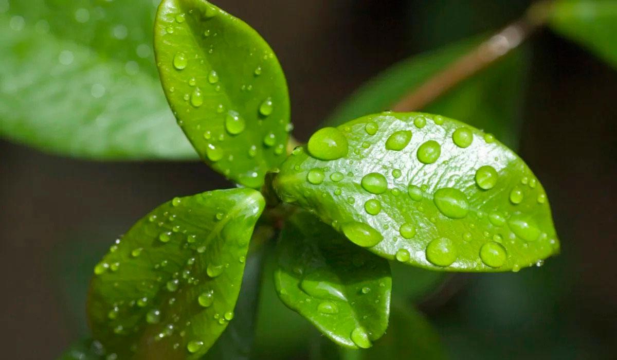 Fase fotosintética