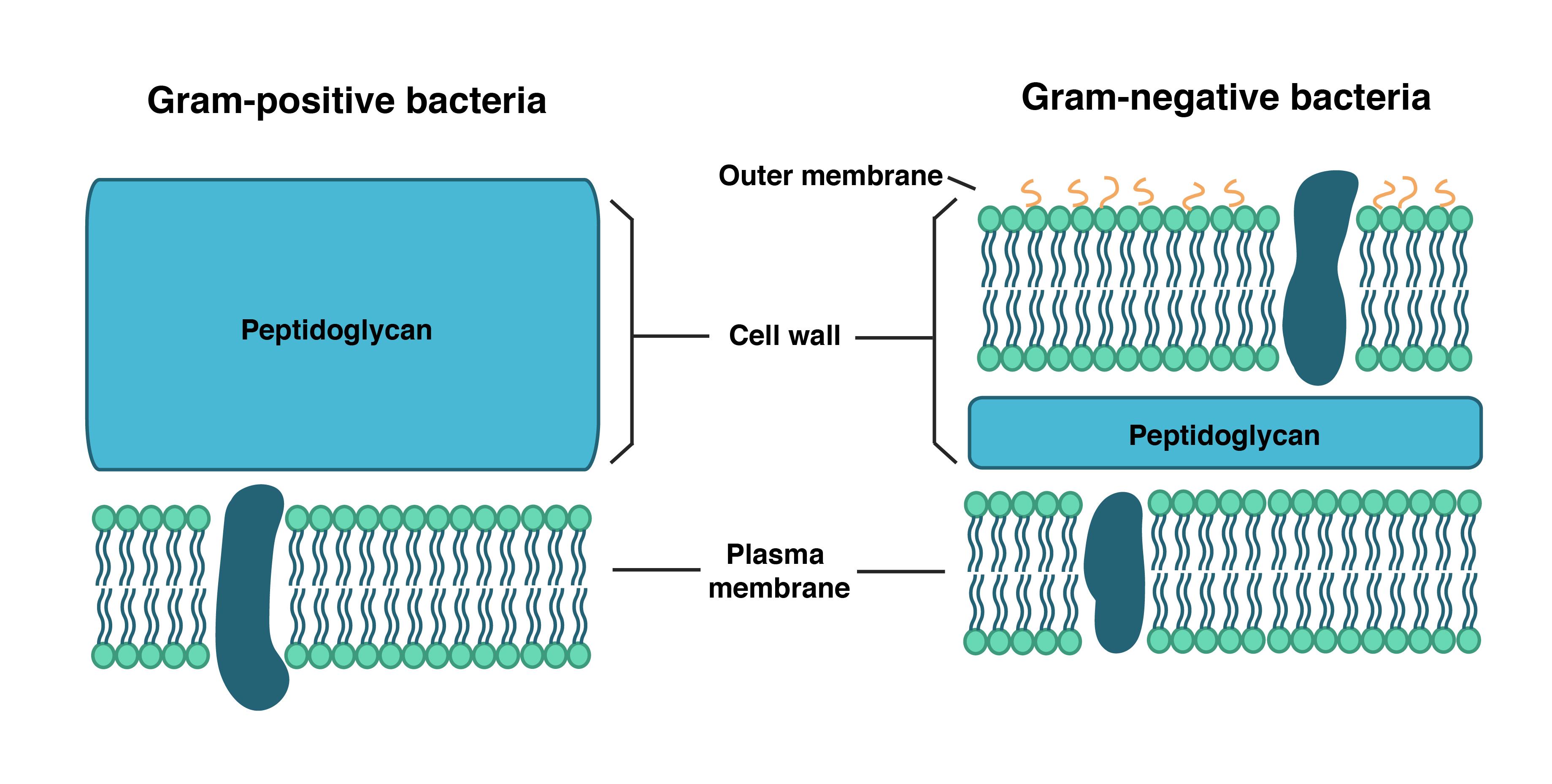 Pared célula