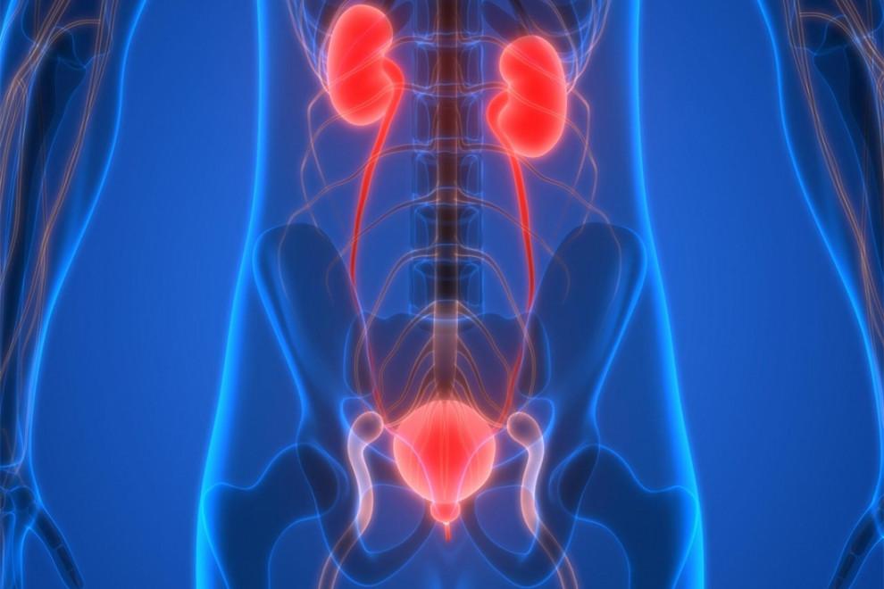 Partes sistema urinario