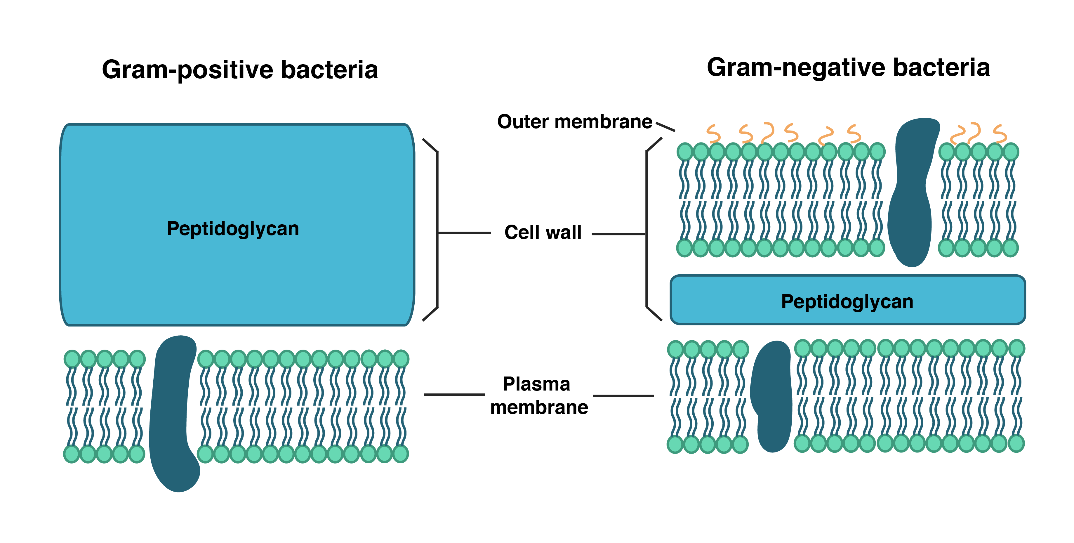 Pared celular bacteria