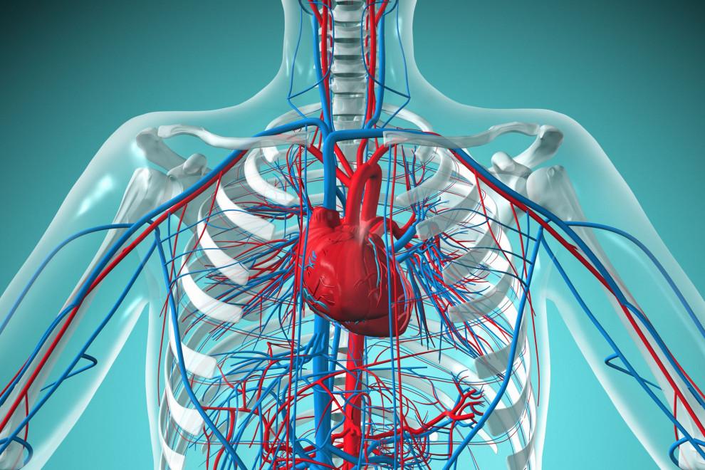 Partes sistema circulatorio