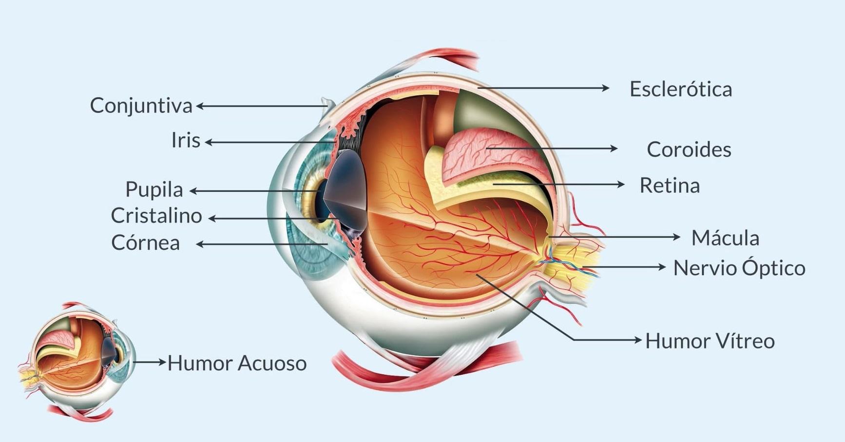 Partes ojo