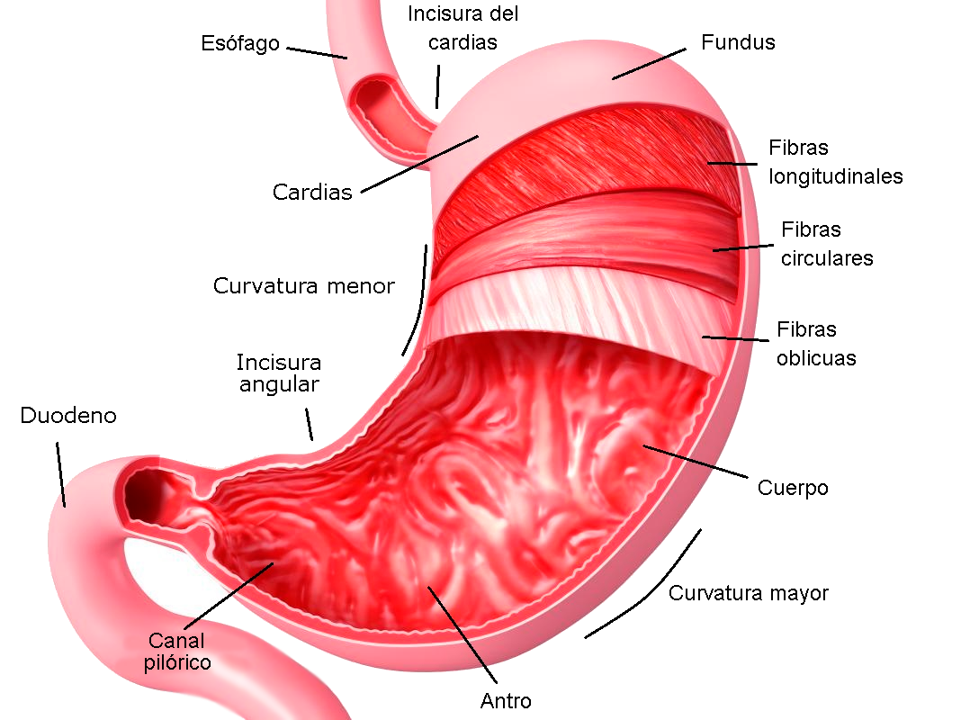 Estómago partes