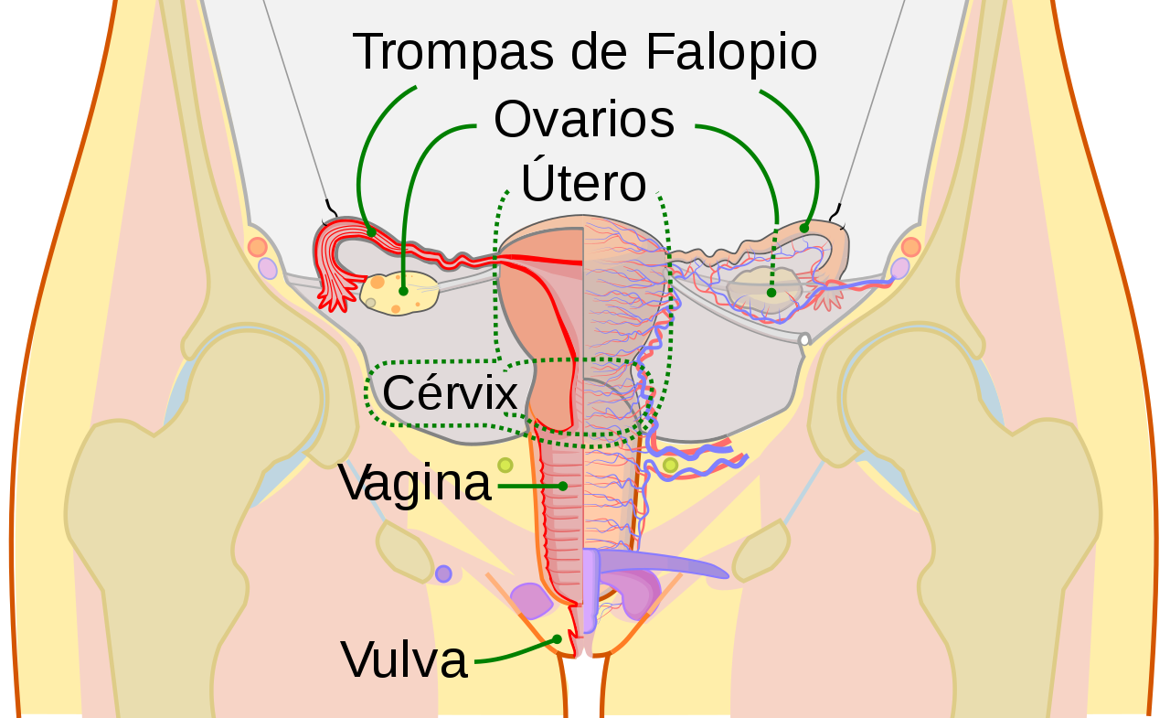 Aparato reproductor mujeres