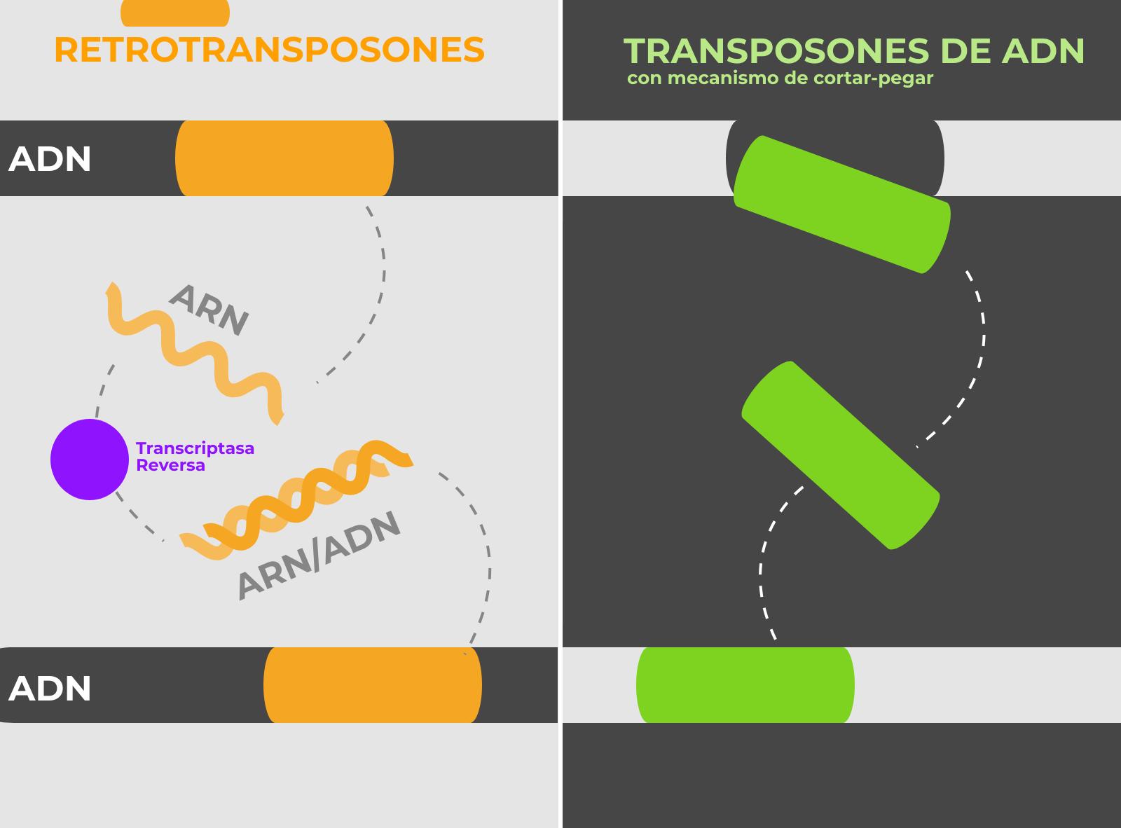 Transposones