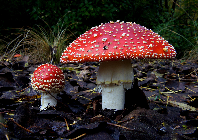 Amanita muscaria hongo