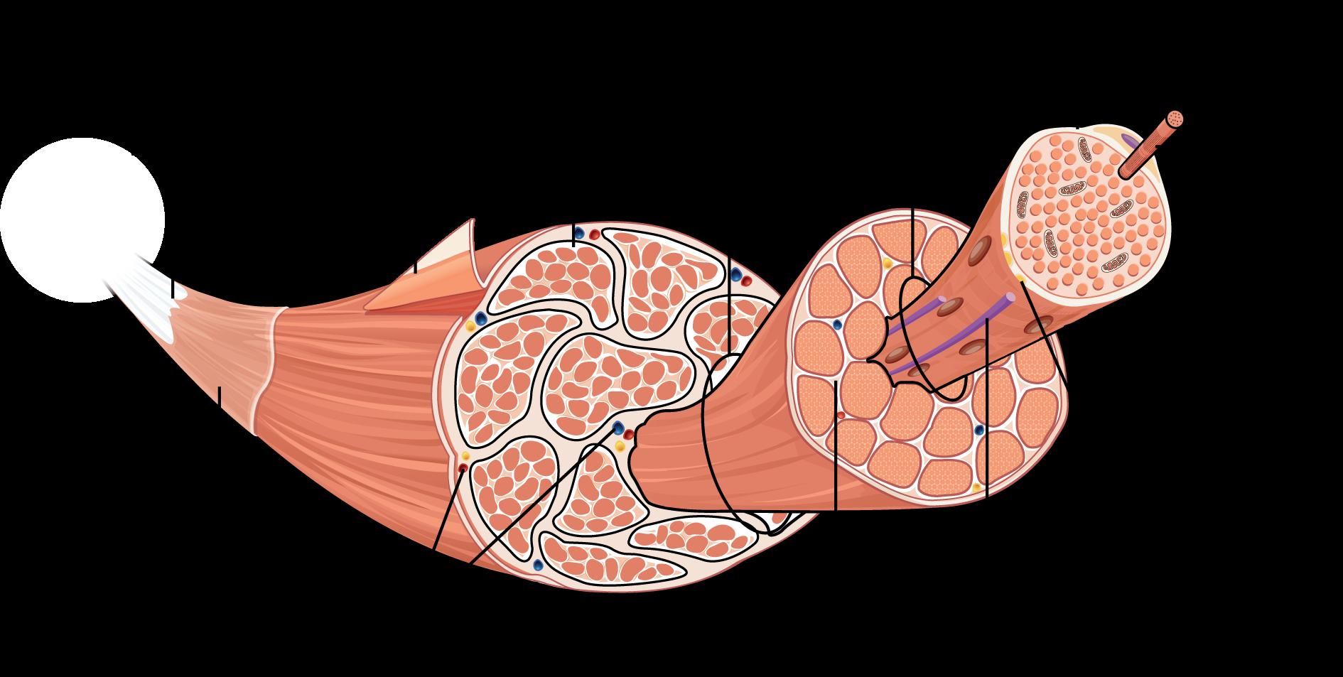 Estructura músculo
