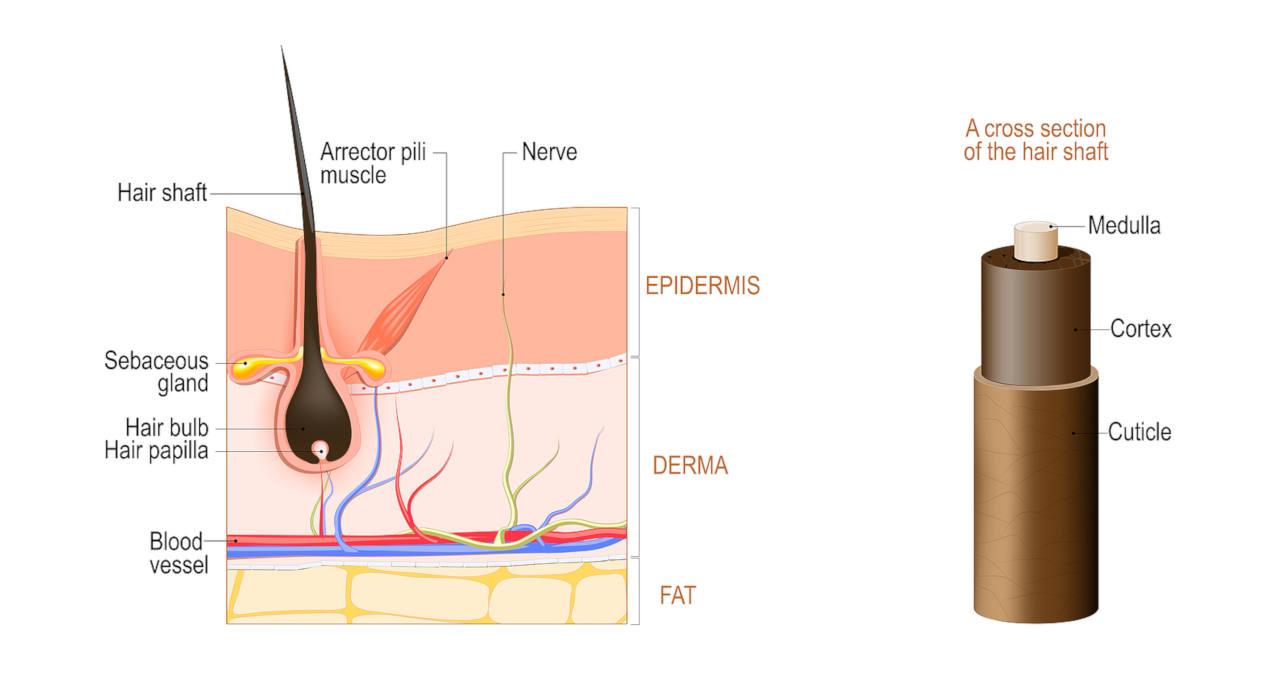Pelo anatomía