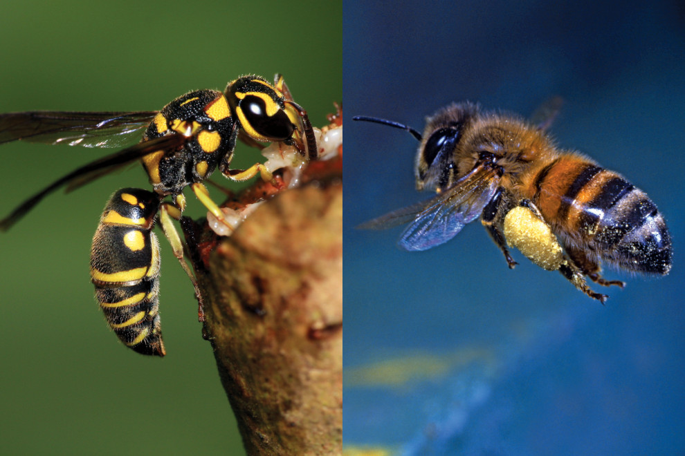 Diferencias abeja avispa