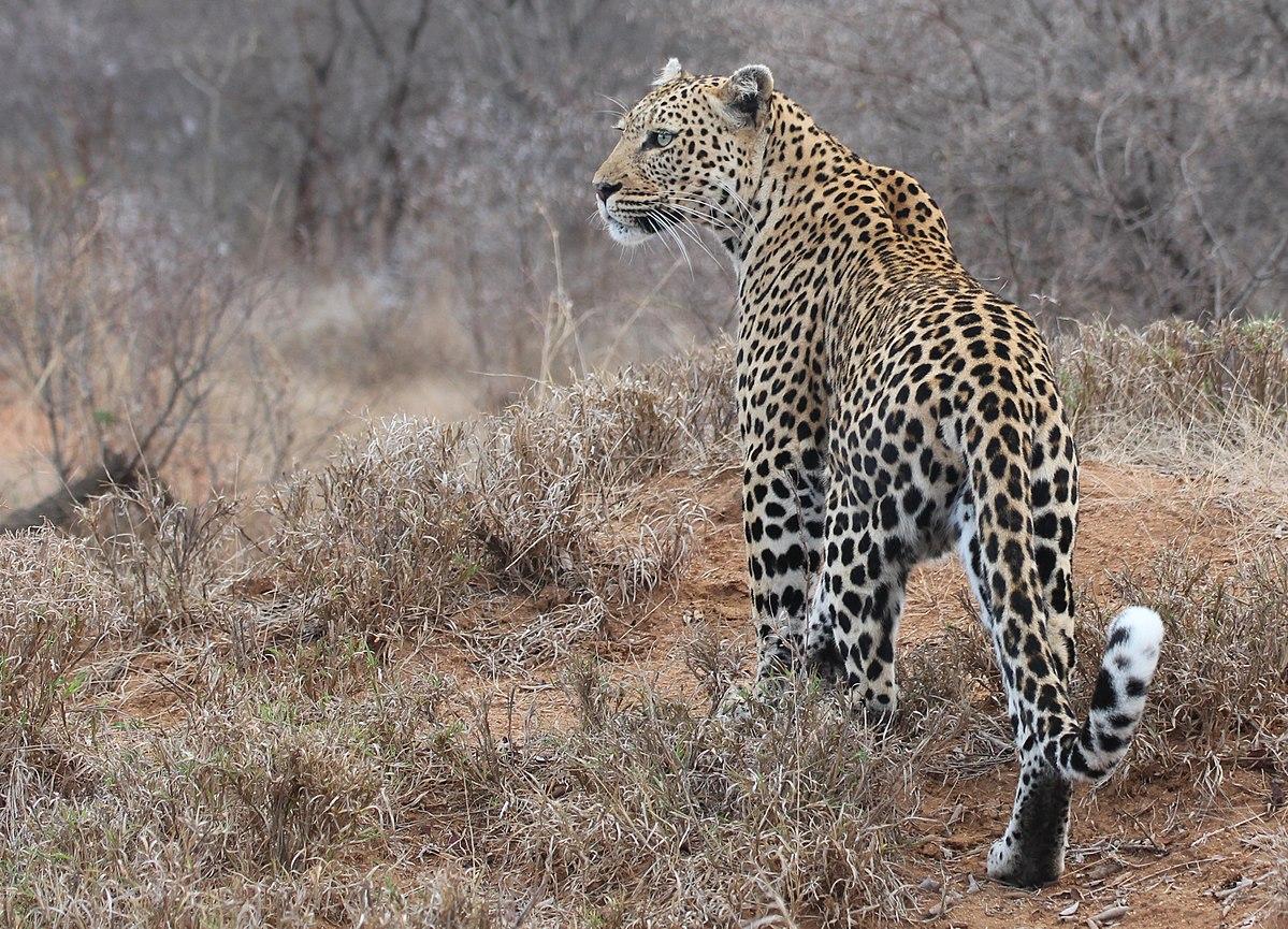 Leopardo Arabia