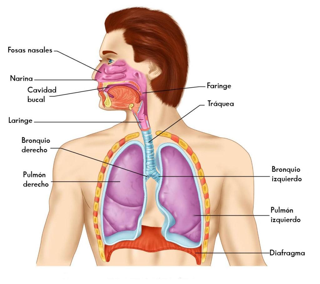 Órganos respiratorios