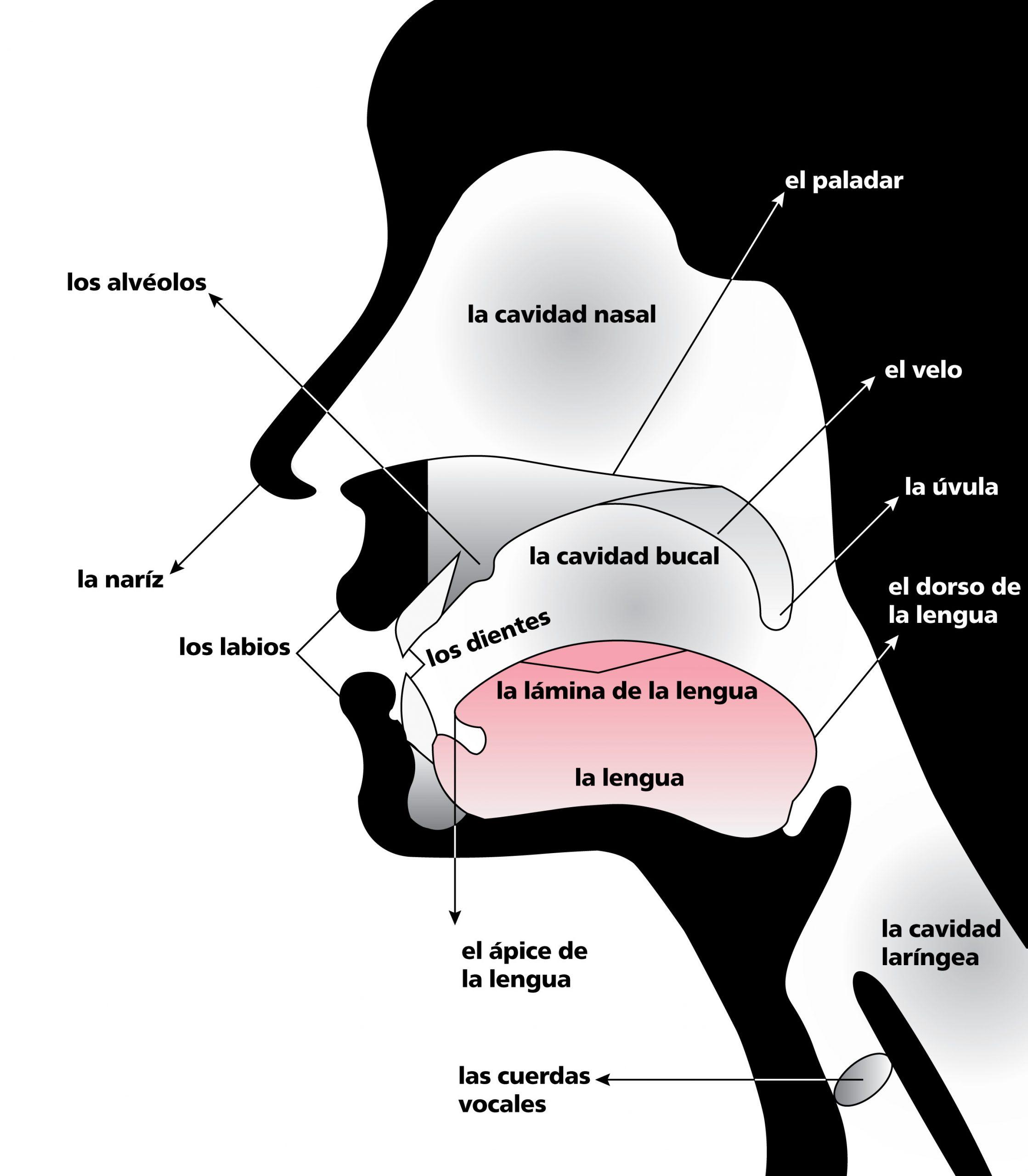 Órganos articulación