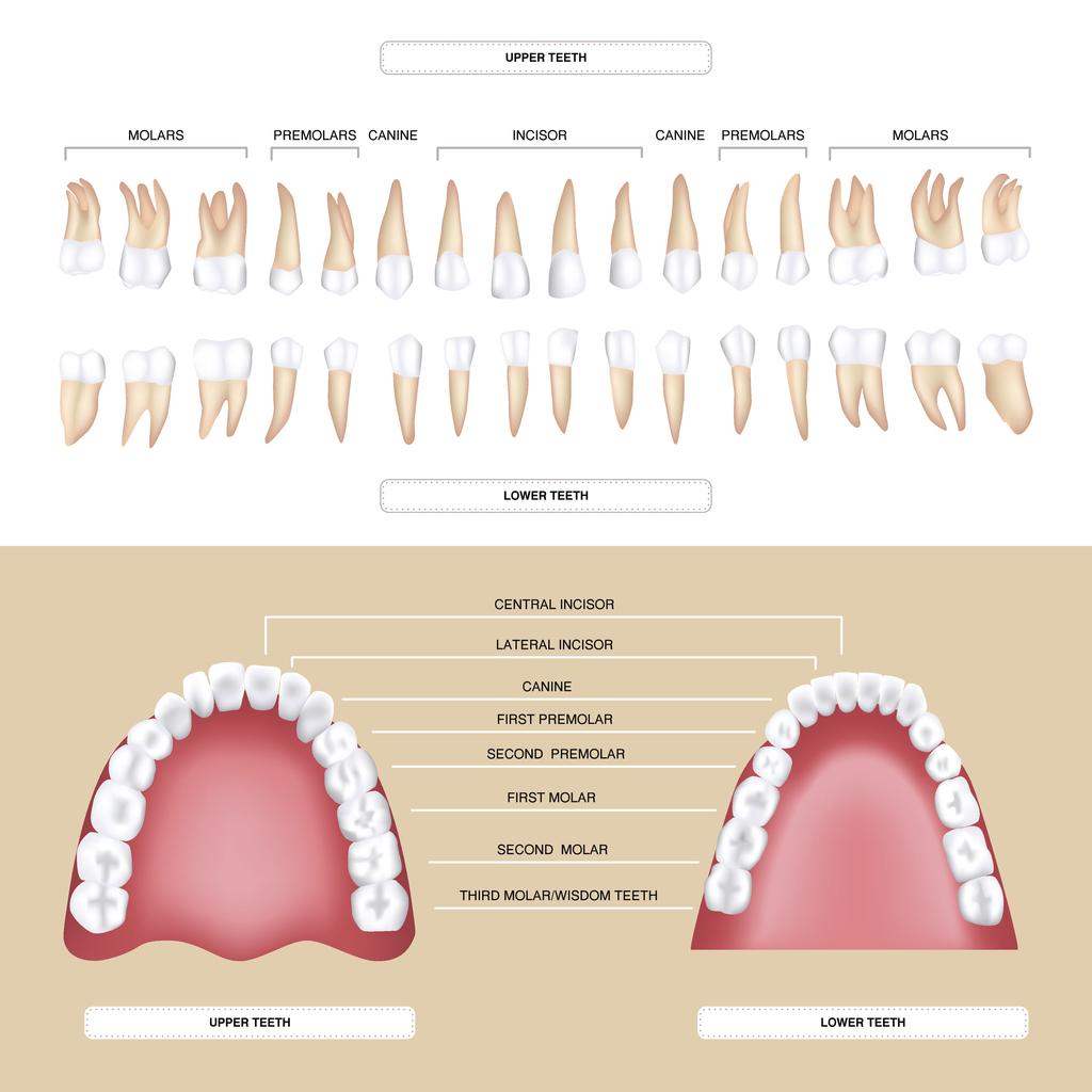 Clasificación dientes