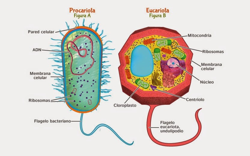 Células Eucariota y Procariota