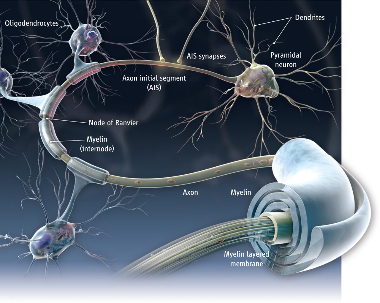 Neurona mielina